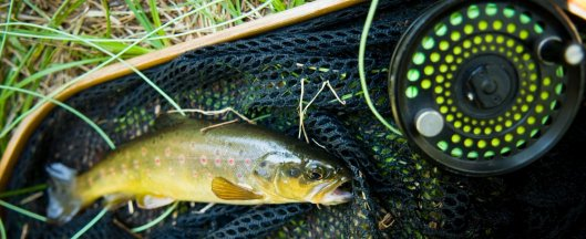 A gorgeous brown trout caught on the fly